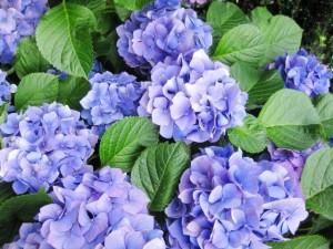 青紫色の紫陽花