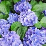 紫陽花の花言葉を詳しく!良い意味も悪い意味もたくさん!