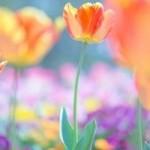 チューリップの花言葉!赤、ピンク、白、紫など色別に!