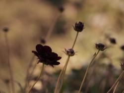 黒いチョコレートコスモスの花言葉のイメージ