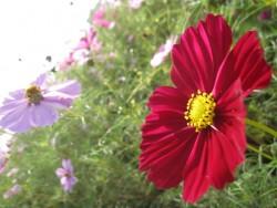 赤いコスモスの花言葉のイメージ
