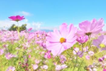 コスモスの花言葉のイメージ
