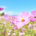 コスモスの花言葉が可愛いすぎ!ちょっとビターなものもあった!