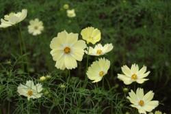 黄色いコスモスの花言葉のイメージ