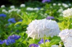 とっても美しい、白い紫陽花