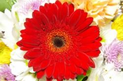素敵な花言葉の赤いガーベラ