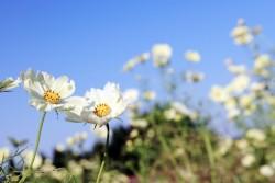 白いコスモスの花言葉のイメージ