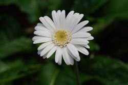可憐な花言葉を持つ白いガーベラ