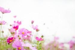 ピンクのコスモスの花言葉のイメージ