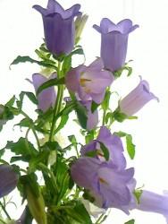 「感謝」の花言葉を持つカンパニュラ