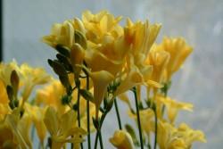 「親愛の情」の花言葉を持つフリージア(黄)