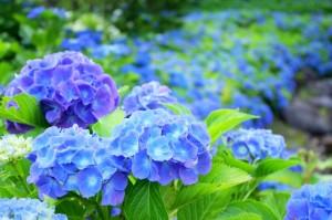 青系の紫陽花が多いイメージ