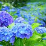 紫陽花の色が変化する理由!●●を持たないと素敵なアノ色に!