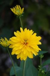「憧れ」の花言葉を持つヒメヒマワリ