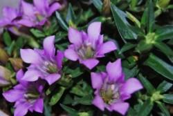 リンドウの紫が高貴な色だったから