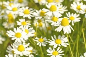 カモミールの花の写真