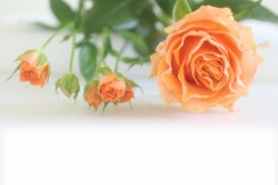 オレンジバラの写真
